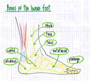 Drawing of the anatomy of the human foot Royalty Free Stock Photos