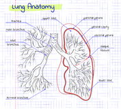 Drawing anatomy of the human lung Stock Image