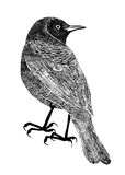 Drawing of bird trupial, black silhouette on white background. Royalty Free Stock Photo