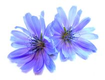 Drawing blue chicory flower isolated on white