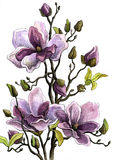 Drawing Branch of a Blossoming Magnolia. Paper, water color, helium handle Stock Photos