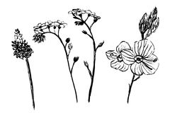 Drawing collection of daisy flowers set sketch  illustration. Drawing collection of daisy flowers set sketch hand drawn ink   illustration Royalty Free Stock Photography