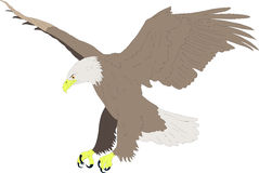 Bald eagle. Drawing colored bald eagle hunting in aggressive Stock Photos
