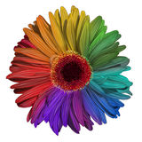 Drawing of colorful gerbera flower Royalty Free Stock Photography