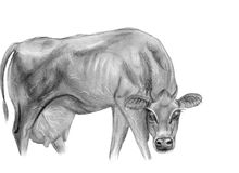 Drawing of cow dairy Stock Photos