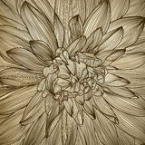 Drawing of dahlia flower Royalty Free Stock Image