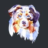 Drawing Dog breed Australian Shepherd, Portrait watercolor painting on a white background. Hand drawn home pet. Digital. Drawing Dog breed Australian Shepherd Royalty Free Stock Images