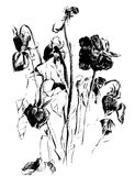 A drawing of dried roses. Black and white picture of dead dried flowers and buds Royalty Free Stock Photography