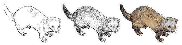Drawing of ferret. A mammal belonging to the weasel genus of the family Mustelidae Stock Images