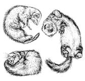 Drawing of ferret. Vector illustration  on white Royalty Free Stock Photos