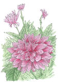 Drawing of flowering Dahlia Dahlia hybr. plant in loose style. Ink and watercolor on paper stock illustration