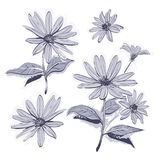 Drawing flowers hand-drawn chamomiles, daisies. Watercolor stylization, Monochrome gray flower. Vector drawing flowers hand-drawn chamomiles, daisies. Jerusalem Royalty Free Stock Photography