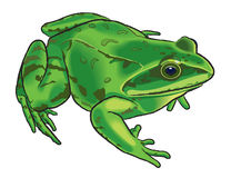 Drawing of a frog Royalty Free Stock Images