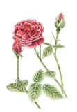 Drawing of a garden rose over white background Royalty Free Stock Photo