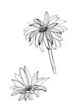 Drawing gerbera Stock Images
