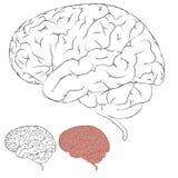Drawing Human Brain Stock Photography
