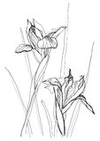 Drawing irises Stock Image