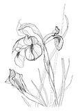 Drawing irises 2 Stock Images