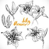 Drawing lily flowers and buds Stock Photography