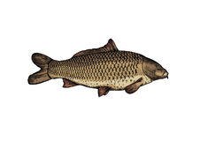 Drawing of live carp. On the white Royalty Free Stock Photography