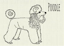 Drawing on notebook sheet poodle Stock Photos