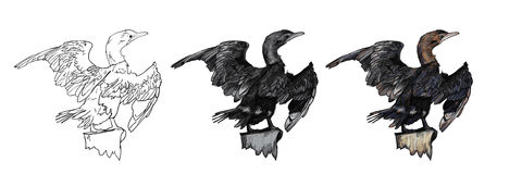 Drawing Of Little Cormorant Bird Royalty Free Stock Photography
