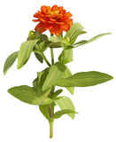 Drawing of orange flower on white background Royalty Free Stock Photography