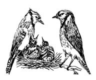 Drawing a pair of forest birds in the nest feeding chicks hand drawn  illustration. Drawing a pair of forest birds in the nest feeding chicks sketch hand drawn Stock Photography