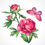 Drawing peonies and butterflies. Isolated drawing of large peonies and butterflies Royalty Free Stock Images
