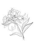 Drawing peony Stock Images
