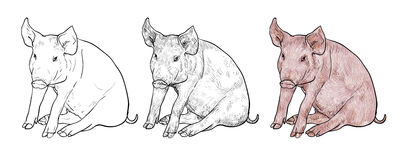 Drawing of pig Stock Images