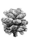 Drawing of pine cone. Black and white drawing of pine cone royalty free illustration