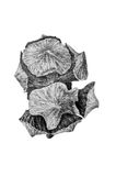 Drawing of cypress cone. Black and white drawing of cypress cone royalty free illustration