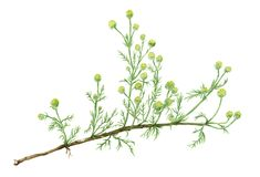Drawing of a Pineapple weed Matricaria discoidea plant Stock Photography