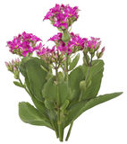 Drawing of Pink Kalanchoe flower Stock Photography