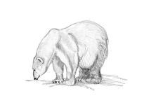 Drawing polar bear sniffing. Pencil drawing of a polar bear sniffing the ground Royalty Free Stock Photography