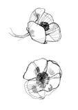 Drawing poppy stock photo