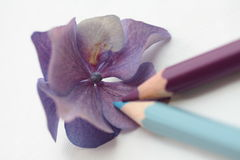 Drawing a purple hydrangea Royalty Free Stock Images