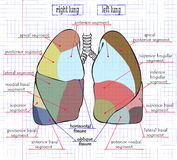 Drawing section of human lung Stock Images