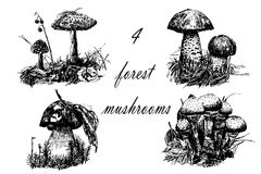 Drawing set of 4 forest mushrooms, sketch graphics hand drawn  illustration. Drawing set of 4 forest mushrooms, sketch graphics hand drawn ink  illustration Stock Photography