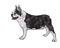 Drawing side of french bulldog Stock Photography