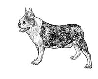 Drawing side of french bulldog Stock Image