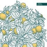 Drawing of a small citrus tangerine, orange citrus tree Stock Photos