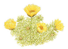 Drawing of a Spring Adonis Adonis vernalis flowering plants Stock Image
