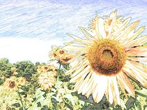 Drawing sunflower with pencil Stock Image