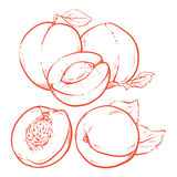 Drawing Sweet apricots with leafs on white background. Fresh pea stock illustration
