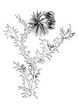 Drawing thistle Stock Photography