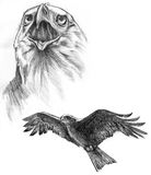 Drawing of two Eagles. Pencil on paper Stock Photos