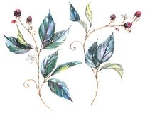 Drawing of two isolated decorative branches with wild berries. Hand-drawn watercolor illustration with natural motives: blackberry branches, leaves and berries Royalty Free Illustration