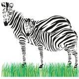 Drawing of a zebra Stock Photos
